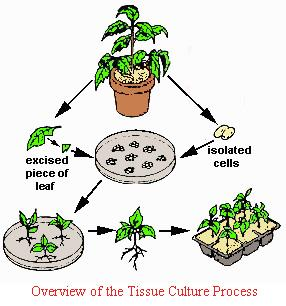 Introduction and  History of Plant   Tissue   Culture