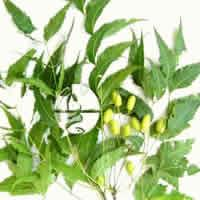 Neem - Pharmacognosy & Uses