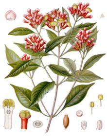 Clove - Pharmacognosy & Medicinal Uses