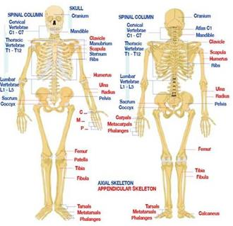 Introduction to Skeletal System Anatomy