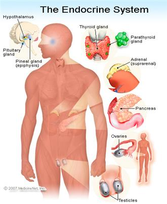 Introduction to Anatomy of the Endocrine System