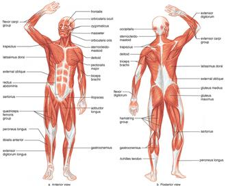 Introduction to Anatomy of Muscular System