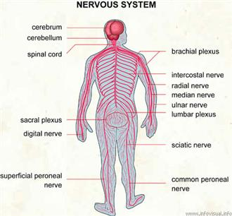 Introduction to Anatomy of Nervous System