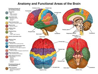 Anatomy & Physiology of the Brain