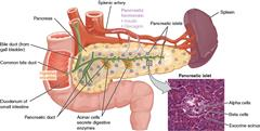Human Anatomy & Physiology of Pancreas