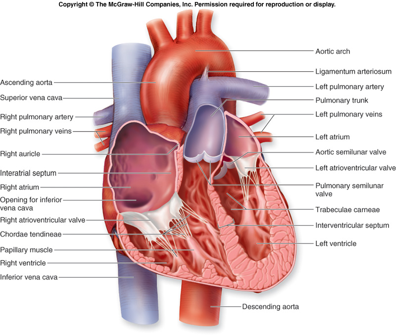 Anatomy Heart Diagram Images - human anatomy organs diagram
