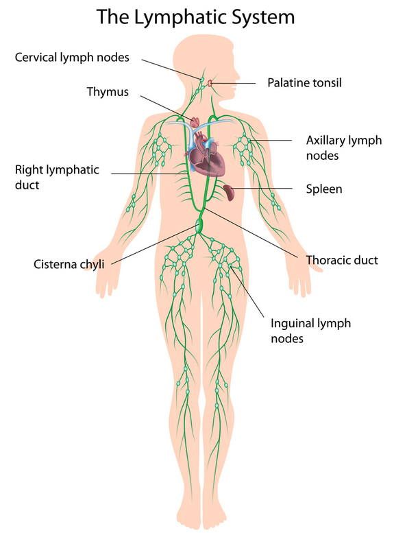 Introduction To Anatomy Of Immune Lymphatic System Human Anatomy