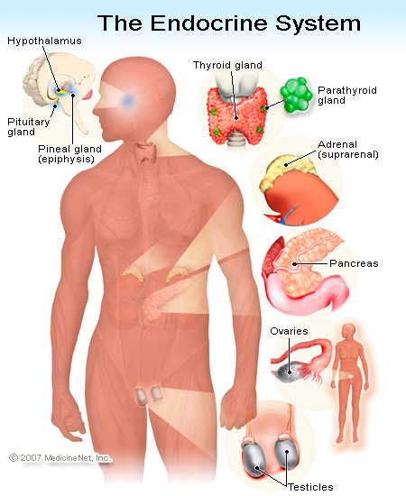 Introduction To Anatomy Of The Endocrine System Human Anatomy