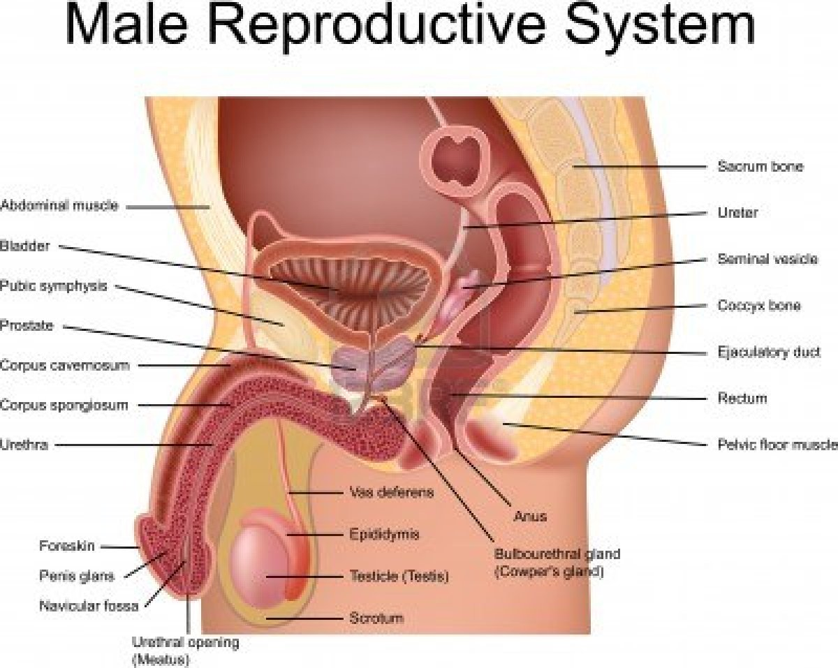 Male reproductive system. The structure of the reproductive system of men 89