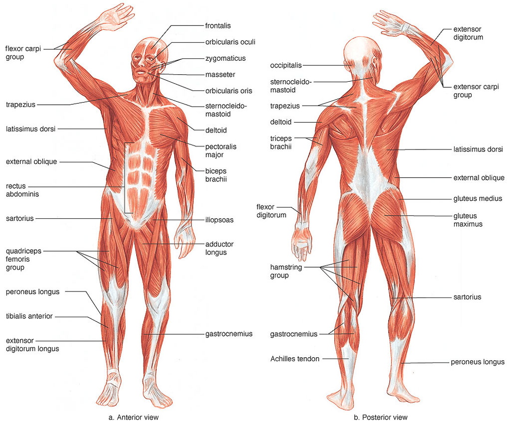 The muscle groups and their actions