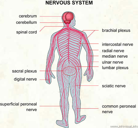 Introduction To Anatomy Of Nervous System Human Anatomy