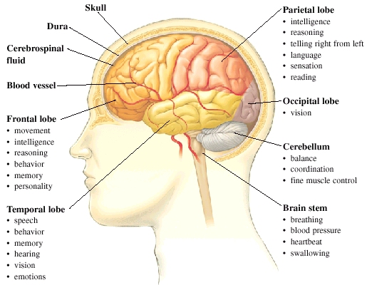 Anatomy & Physiology of the Brain | Human Anatomy