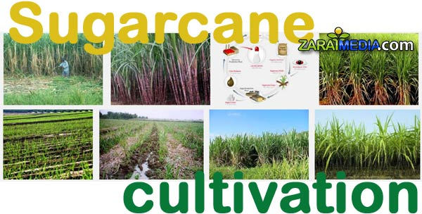 Cultivation of sugarcane