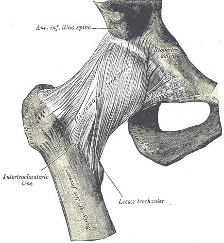 Ligaments of Hip Joint (Anterior View)