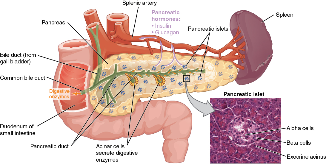 Human Anatomy & Physiology of Pancreas | Human Anatomy